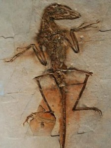 sinornithosaurus-millenii-fossil-pic